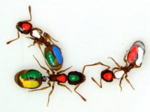 Ants with color code for experiment